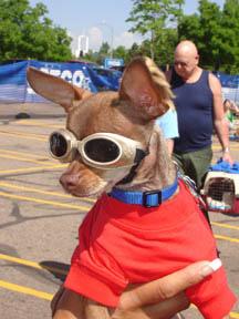Racing Chihuahua