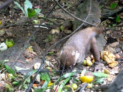 Cutie Coati