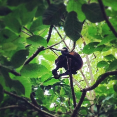 Howler Monkeys on My Run