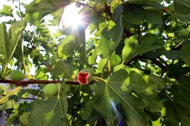 Fig tree in Villa Gumonca's orchard