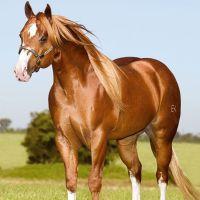 Razas de caballo: Cuarto de Milla - (Parte 1)