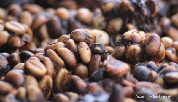 Bali Coffee Luwak 2