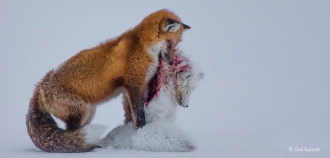 Wildlife Photogrtaphie Don Gutoski