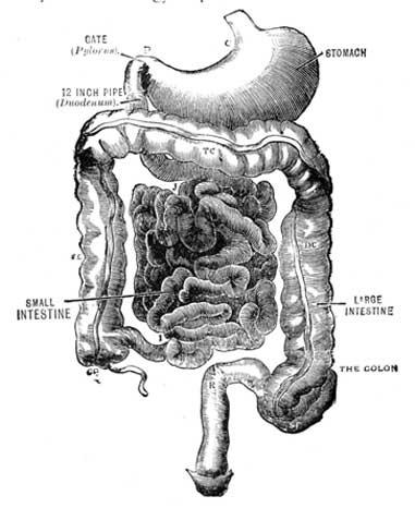 Digestive System.