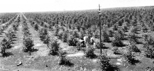 Intensive Cultivation Methods in the Ribeirao Preto District, São Paulo