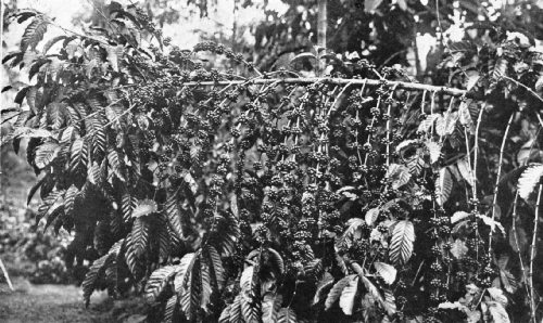 A Heavy Fruiting of Coffea Robusta in Java