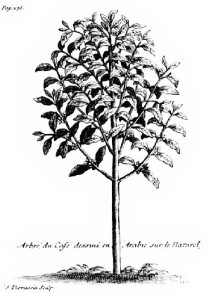 """The Coffee Tree as Pictured by La Roque in His """"Voyage de l'Arabie Heureuse"""""""