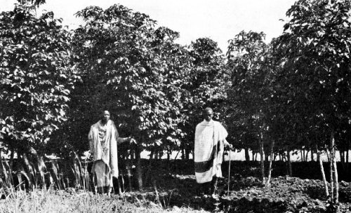 A Galla Coffee Grower, and His Helper, in His Grove of Young Trees near Harar