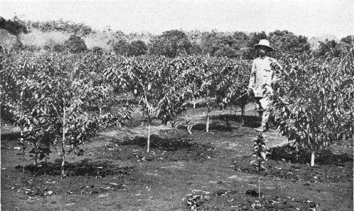 Coffee Trees of the Bourbon Variety, French Indo-China