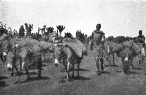Donkey Coffee Transport on the Way from Harar to Dire-Daoua