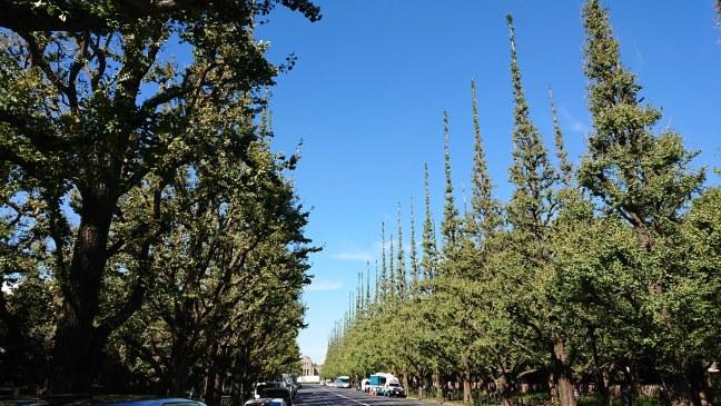 Ginkgo trees line bouldevard at Meiji Jingu Gaien