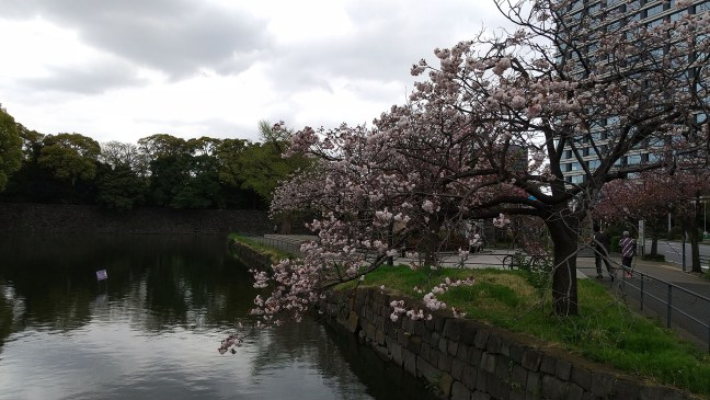 Cherry blossoms overhanging the Imperial Palace moat