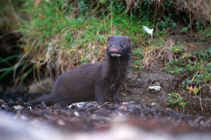 American Mink Game And Wildlife Conservation Trust