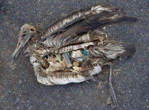 albatross chick killed by plastic trash