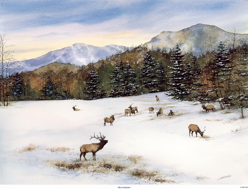 Elk in Cataloochee