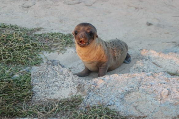 Galapagos Sea Lion Newborn