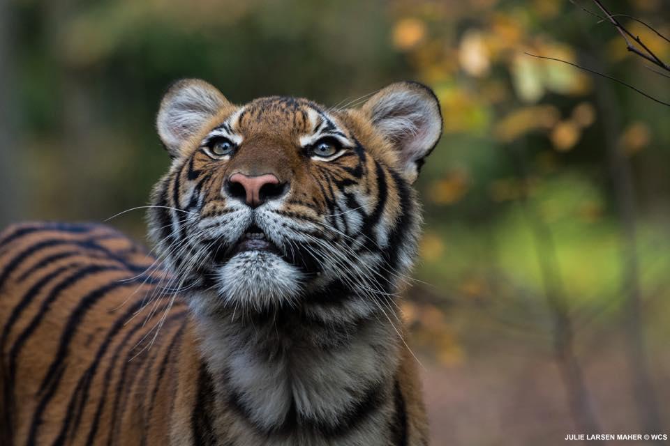 Dal Mondo, a New York positiva una tigre dello ZOO - Gwendalina.tv