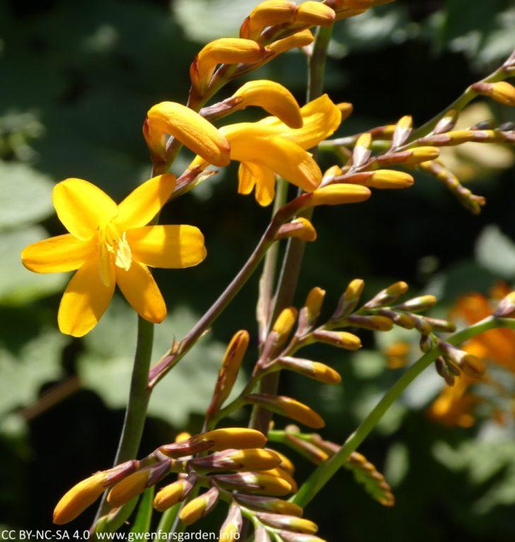 Eine einzelne sternförmige goldorange-gelbe Blume offen, mit mehreren Stielen daneben, gefüllt mit Knospen, die bald herauskommen werden. Die Sonne hat die Blume eingefangen und zeigt sie perfekt zum Leuchten!