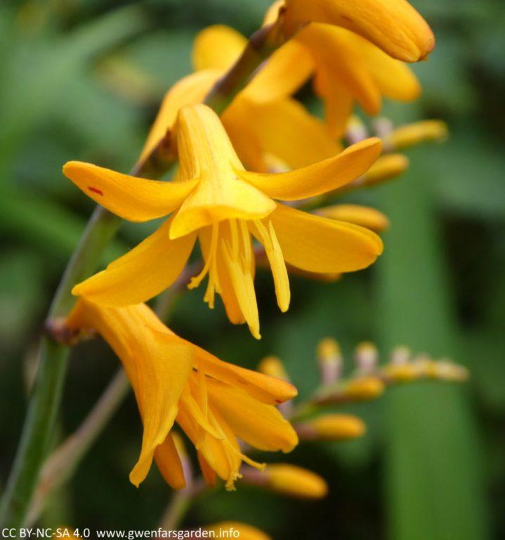 Zwei Blumen, eine offen und nach unten schauend, die zweite nur halb heraus. Sie können die Tiefe des goldenen Orange-Gelbs sehen, hinter dem grünes Laub verschwimmt.