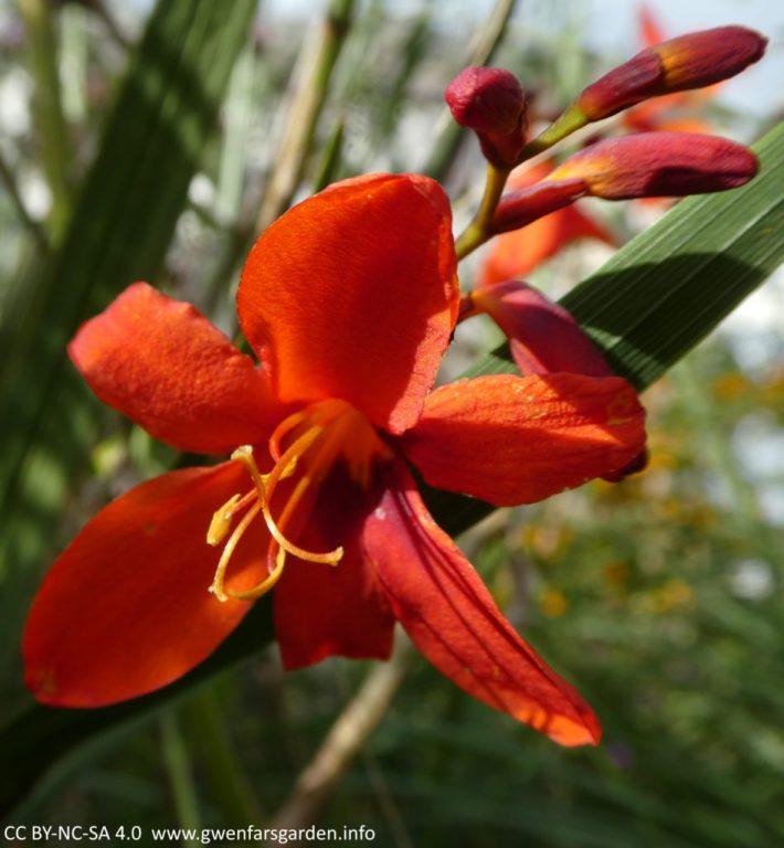 Ein Fokus auf eine einzelne Blume, die purpurrot-scharlachrot ist, mit drei ungeöffneten Knospen dahinter. Die Blume ist sternförmig und die Blütenblätter kehren zurück. Es hat ein dunkleres purpurrotes Zentrum mit gelb-orangefarbenen Staubblättern und Fruchtblättern, die stolz vor den Blütenblättern sitzen.