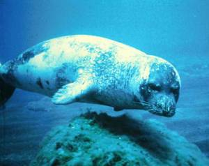 Mediterranean Monk Seal (Photo by the International Fund for Animal Welfare)