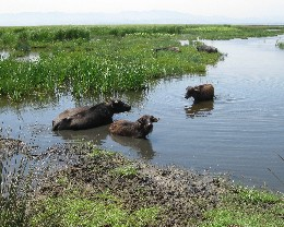 Photo: Water buffalo enjoying the marshes of the Kisilirmak Delta near Samsun, Turkey. Credit: Lisa Borre.