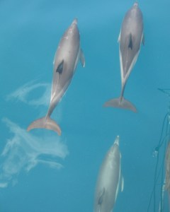 Photo: common dolphins in Black Sea. Credit: L. Borre.
