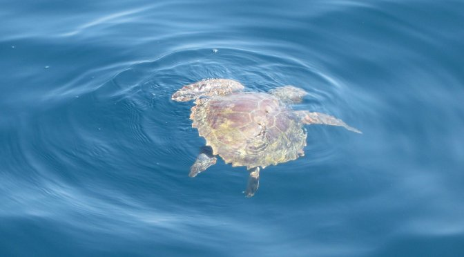 Photo: Sea turtle in the Bay of Naples. Credit: L. Borre.