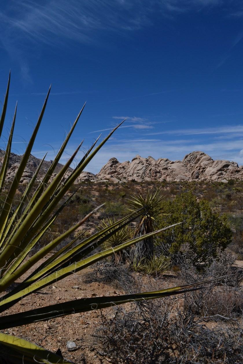 6-mojave-desert-plant