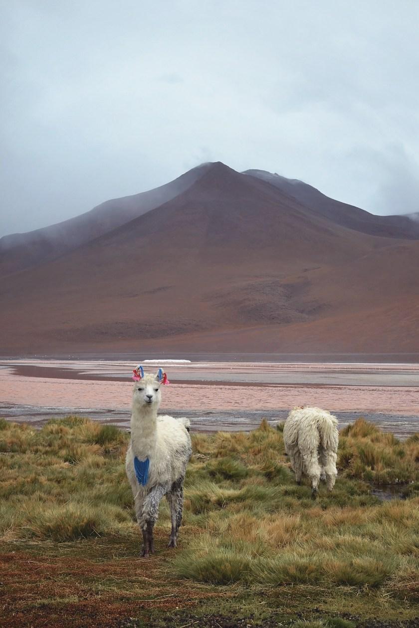 bolivia-desert-llama-mountain-red-lake