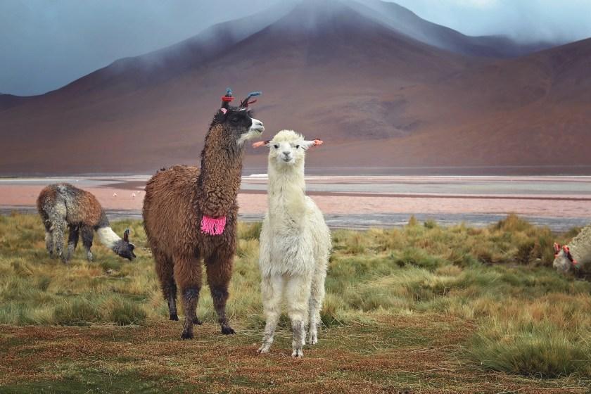 bolivia-desert-llama-mountain-red-lake-2