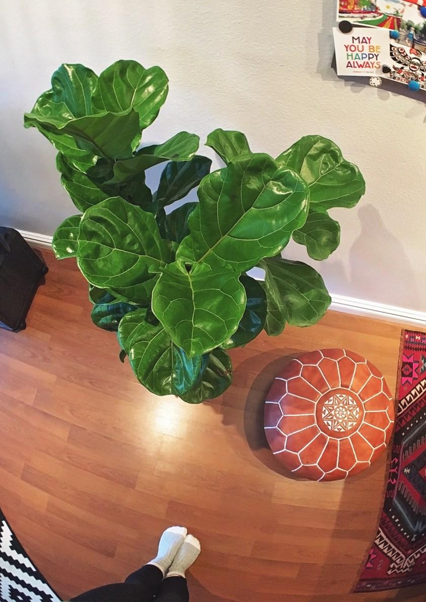 fiddle-leaf-fig-tree