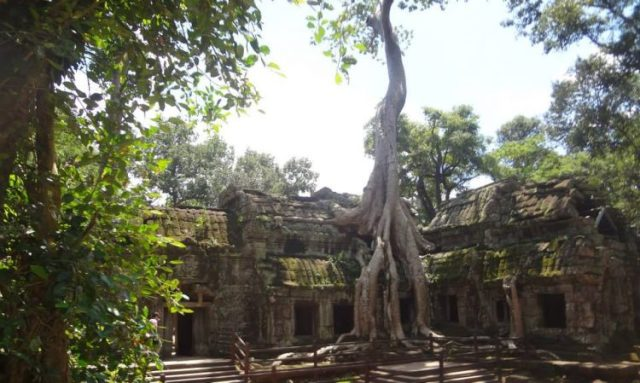 A tree grows out from Angkor Wat