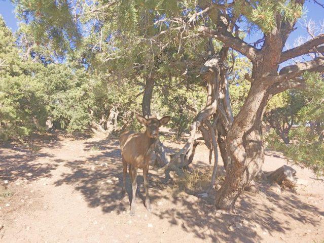 elk at grand canyon