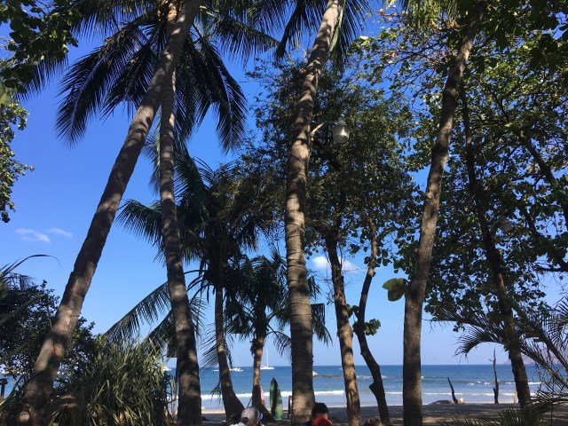 tamarindo palm trees