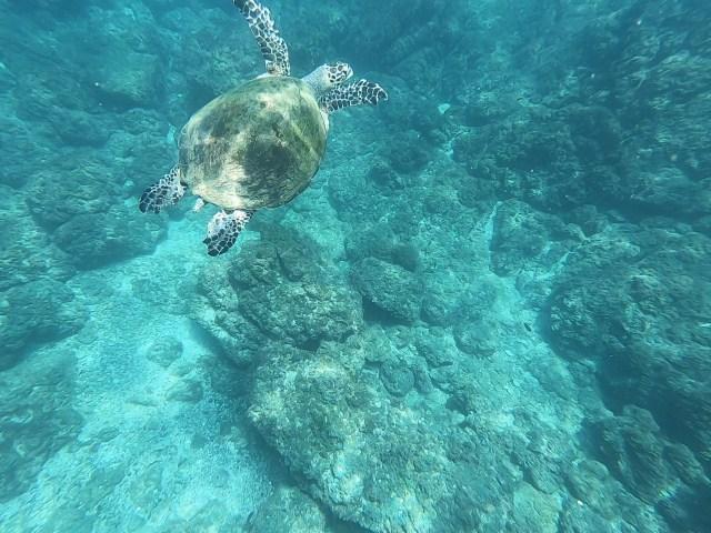 turtle at tortuga island