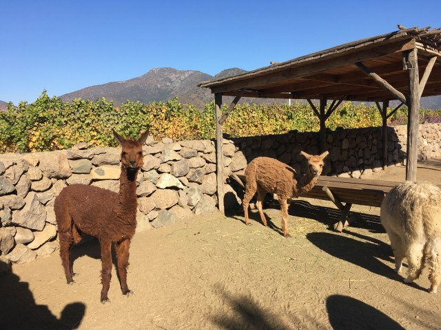 chilean llamas at Vina Emiliana