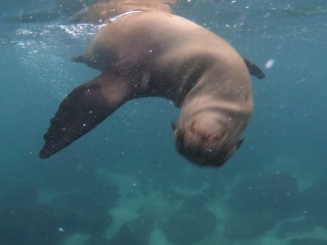galapagos sea lion pup