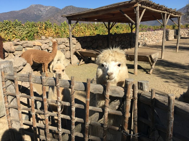 llamas chile at Vina Emiliana