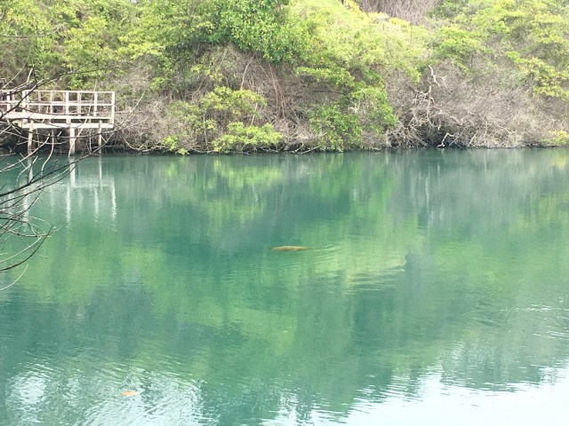 sea turtle in lagoon galapagos