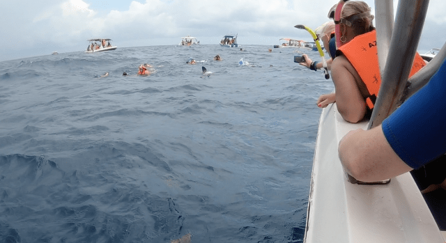 crowd swimming with whale sharks in Mexico