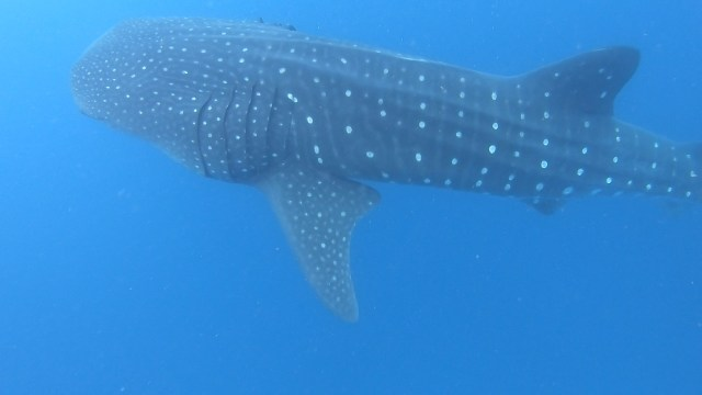 Giant whale shark