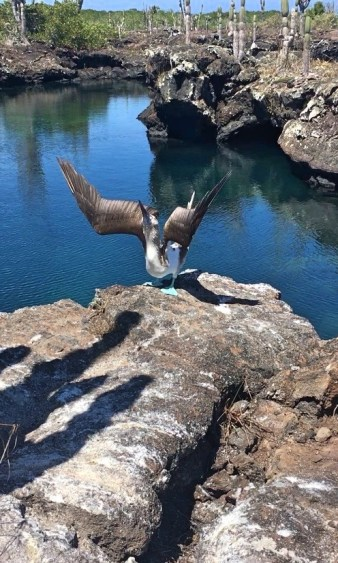 galapagos blue boobie