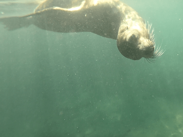sea lion swim