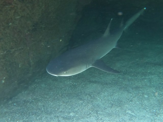shark in galapagos