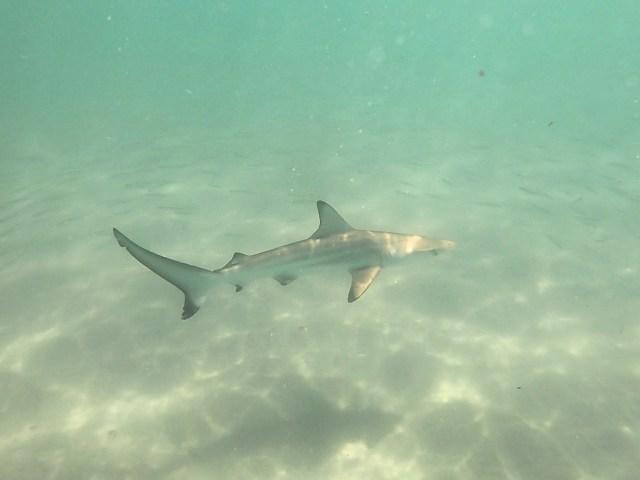 shark isabela
