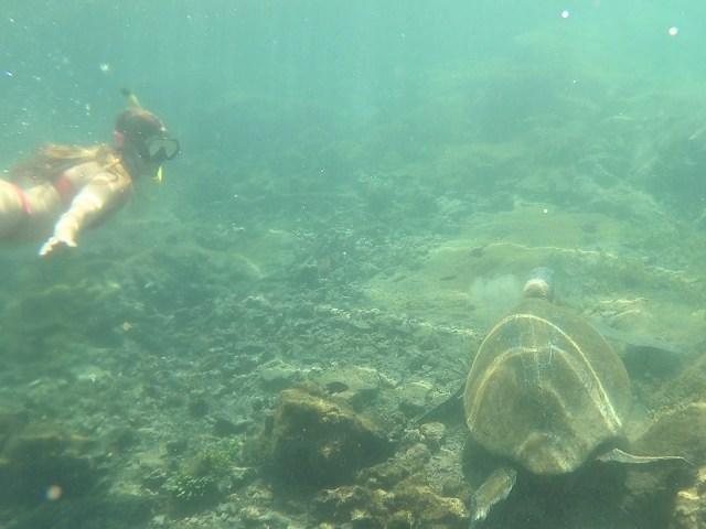 turtle snorkle