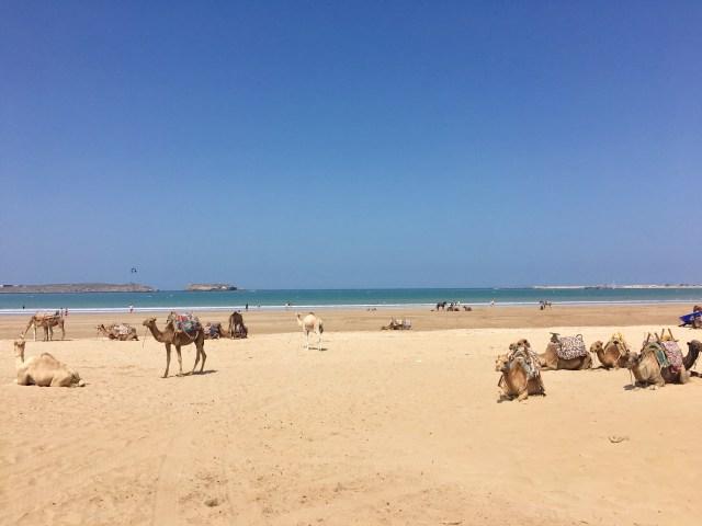 essaouira camels