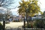 公園を優しく彩るミモザアカシア