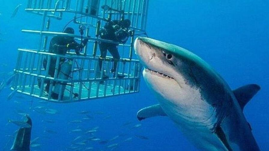 photo: great white shark appears for shark week. 'Shark in the cage!' Shaq pulled from water after predator wiggles through bars of enclosure